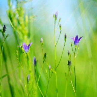 Campanula flowers (Campanula patula) in green grass. Selective f